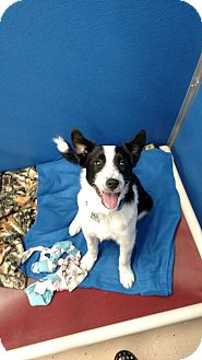 Border Collie Mix Dog for adoption in Brookings, South Dakota - Raider