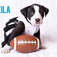 Adopt A Pet :: Sheila - Garden City, MI
