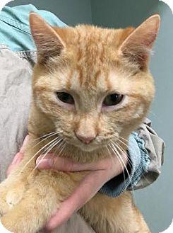 Domestic Shorthair Kitten for adoption in Westminster, California - Buckeye