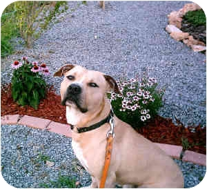 American Pit Bull Terrier Dog for adoption in Gainesboro, Tennessee - Tone