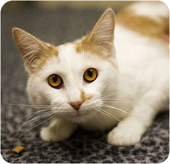 Domestic Shorthair Kitten for adoption in Chicago, Illinois - Sophie
