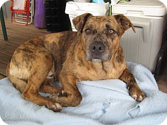 Mountain Cur Mix Dog for adoption in Puyallup, Washington - Tyson