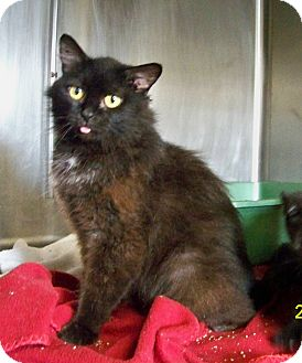 Domestic Mediumhair Cat for adoption in Dover, Ohio - River