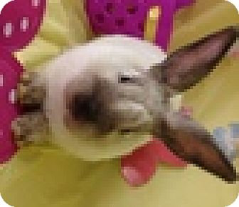 Lop-Eared Mix for adoption in Paramount, California - Soy Sauce