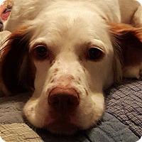 Adopt A Pet :: RUSTY - Pine Grove, PA