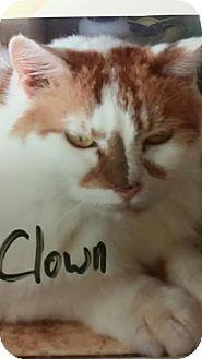 Domestic Shorthair Cat for adoption in Camden, Delaware - Clown