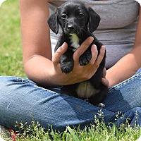 Adopt A Pet :: gabbi - Groton, MA