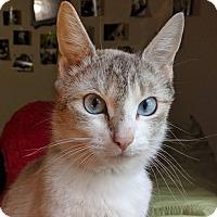 Adopt A Pet :: Bluebelle - Kirkland, WA