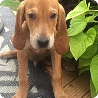 Adopt A Pet :: COPPER - Rossford, OH