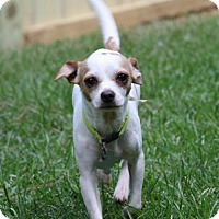 Chihuahua Mix Dog for adoption in Alpharetta, Georgia - Dominicano