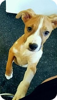 American Bulldog/Hound (Unknown Type) Mix Dog for adoption in Graceville, Florida - Brandy #3