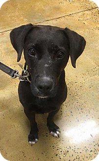 Labrador Retriever/Terrier (Unknown Type, Medium) Mix Dog for adoption in Dawson, Georgia - Bitsy