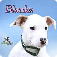 Adopt A Pet :: Blanka - Alpharetta, GA