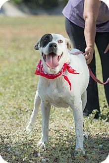 Labrador Retriever/Boxer Mix Dog for adoption in San Diego, California - Roxy