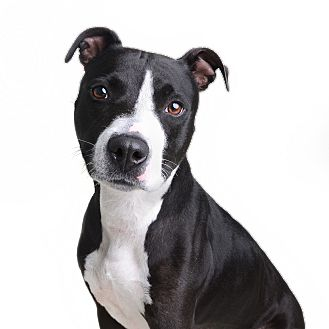 Pit Bull Terrier Mix Dog for adoption in Wilmington, Delaware - Dutchess