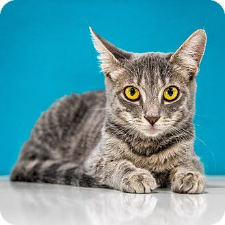 Domestic Shorthair Kitten for adoption in Chandler, Arizona - Pooh