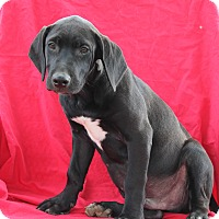 Mastiff/Labrador Retriever Mix Puppy for adoption in Hagerstown, Maryland - Louie (has been adopted)