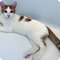 Domestic Shorthair Kitten for adoption in Durham, North Carolina - Caramellow