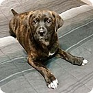 Adopt A Pet :: Mastiff Louise