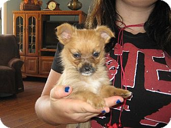 Pomeranian/Yorkie, Yorkshire Terrier Mix Puppy for adoption in Greenville, Rhode Island - Shirley