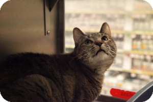Domestic Shorthair Cat for adoption in Gilbert, Arizona - Gabby