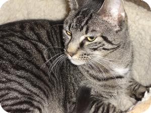 Domestic Shorthair Cat for adoption in Barnegat, New Jersey - Chunky Monkey