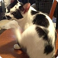 Domestic Shorthair Kitten for adoption in Miami, Florida - Perdita