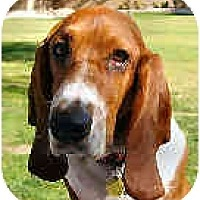 Adopt A Pet :: Hudson - Phoenix, AZ