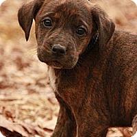 Adopt A Pet :: Tutu Tulip (SG) - Brattleboro, VT