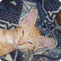 Adopt A Pet :: Beverly's Kittens - Scottsdale, AZ