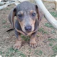 Adopt A Pet :: Phoenix - Arlington, TX