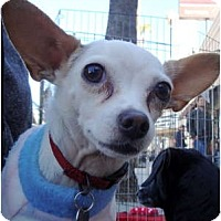 Adopt A Pet :: Gibby - North Hollywood, CA