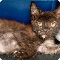 Adopt A Pet :: Lasagna - Shelton, WA