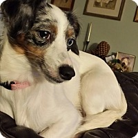 Adopt A Pet :: Dixie-Belle - Indianapolis, IN