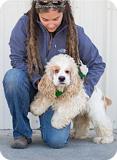 - Colorado Cocker Spaniel Rescue - ADOPTIONS - Rescue Me!