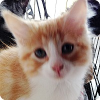 Adopt A Pet :: Stroman - Mississauga, Ontario, ON
