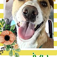 Adopt A Pet :: Ivy - Huntington Beach, CA