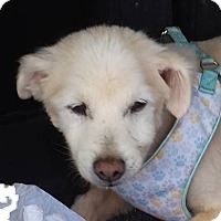 American Eskimo Dog Dog for adoption in Aqua Dulce, California - Agua Dulce