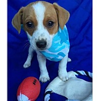 Terrier (Unknown Type, Medium) Mix Puppy for adoption in Little Rock, Arkansas - Petey