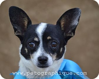 Chihuahua Mix Dog for adoption in Las Vegas, Nevada - Allie