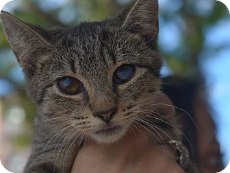 American Shorthair Kitten for adoption in Brooklyn, New York - Zora