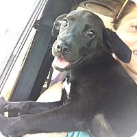 Labrador Retriever/Shepherd (Unknown Type) Mix Puppy for adoption in Goodlettsville, Tennessee - Alissa