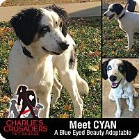 Adopt A Pet :: Cyan - Spring City, PA
