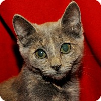 Domestic Shorthair Cat for adoption in Garland, Texas - Emmy Lou