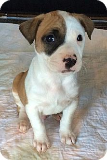 Terrier (Unknown Type, Small) Puppy for adoption in Freeport, New York - Rome