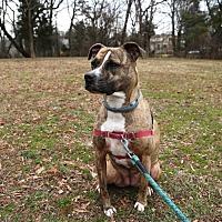 Adopt A Pet :: Portabella - Bristow, VA