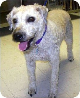 Wheaten Terrier/Terrier (Unknown Type, Medium) Mix Dog for adoption in Troy, Michigan - Keebler