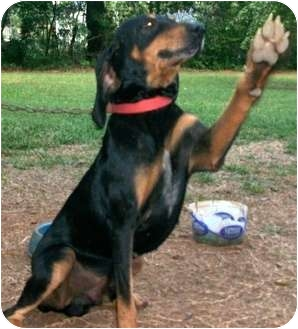 Black and Tan Coonhound Dog for adoption in Dallas, Texas - Scuttlebutt Porter