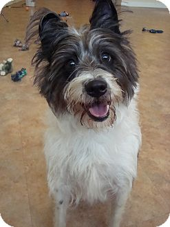 Schnauzer (Standard)/Jack Russell Terrier Mix Dog for adoption in