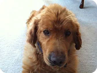 Golden Retriever Dog for adoption in Denver, Colorado - Duke
